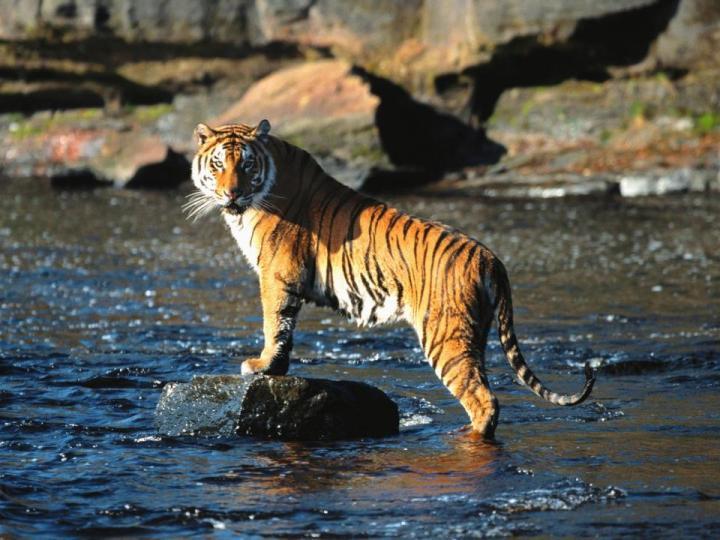 media_gallery-2015-10-21-11-TigerBengal_1ad6975dce84b524d1a532fd97675e67