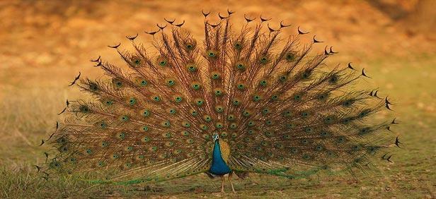 media_gallery-2015-10-5-11-peacock_pench_national_park_04bdfafa48632d34a605d45d7d80c040